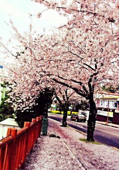 Spring time JEJU ISLAND  First Eyeem Photo Helloworld Beautiful Nature Cherry Blossoms EyeEm Best Shots - Nature