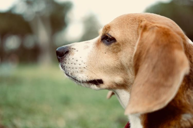 My love. Beagle Dog Fuji Xt20 Dog One Animal Canine Animal Themes Pets Domestic Domestic Animals Close-up Animal Looking Looking Away Focus On Foreground Animal Head  No People
