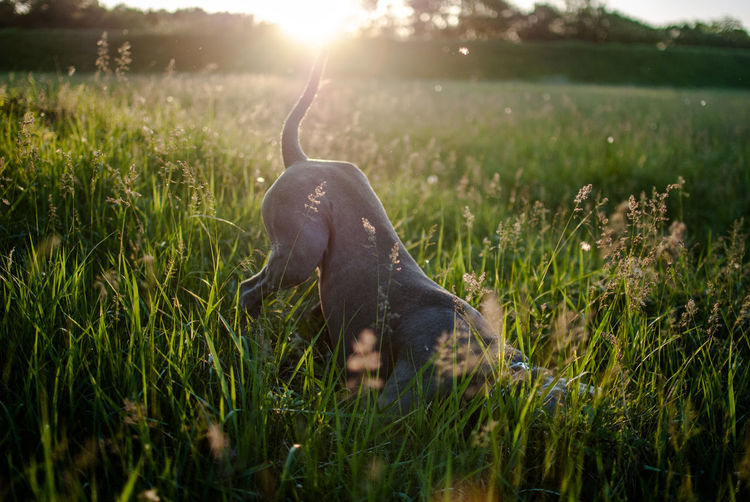 Close-Up Of Dog Playing On Grassy Field During Sunset
