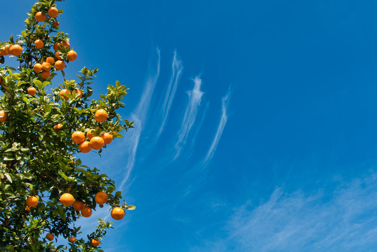 Sky Fruit Plant Low Angle View Tree Healthy Eating Nature Cloud - Sky Food Food And Drink Growth Citrus Fruit No People Orange Freshness Blue Orange - Fruit Beauty In Nature Orange Color Fruit Tree Outdoors Ripe Orange Tree Valencia, Spain Scraps