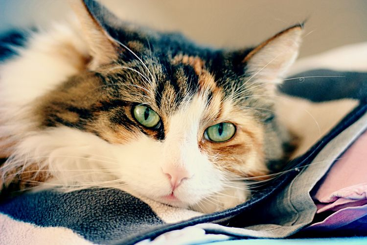 Close-up portrait of cat on bed at home