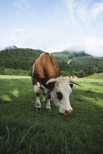 Animals In The Wild Bavaria Field Grass Green Nature Wildlife & Nature Wildlife Photography Animal Themes Beauty In Nature Cow Eating Healthy Germany Healthy Lucky Cow Milk Mountains And Sky One Cow Produce