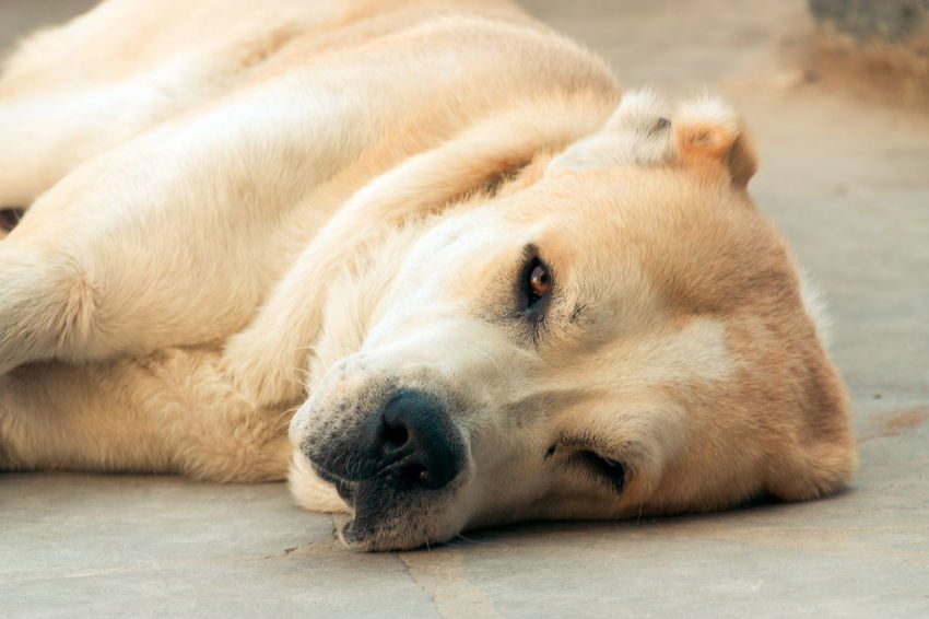 Shepherd Asian  Alabai One Animal Mammal Animal Themes Animal Relaxation Dog Canine Domestic Resting Pets Lying Down Domestic Animals No People Vertebrate Animal Body Part Close-up Sleeping Animal Head  Focus On Foreground Brown Napping
