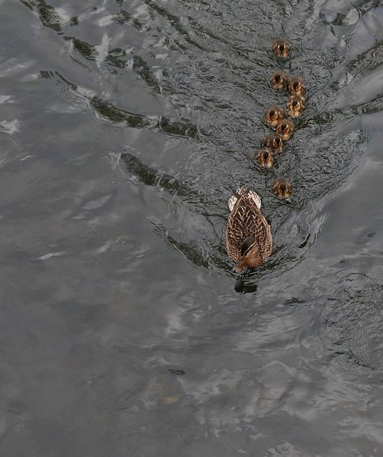 High Angle View Waterfront Water Animals In The Wild Swimming EyeEm Best Shots Eye4photography  Panasonic Lx100 Nature Nature_collection Nature Photography Naturelovers Duck Ducks Ducklings