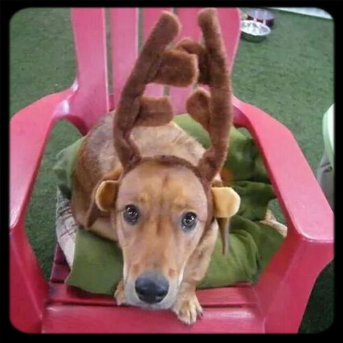 """""""What have I done to deserve this?"""" Henry Toodamncute Daycare Dress-up Santa's Newest Reindeer"""