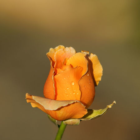 Orange rose bud with dew in the morning sunlight Beauty In Nature Blooming Close-up Day Day Lily Dew Drops Flower Flower Head Fragility Freshness Growth Nature No People Outdoors Petal Plant Rose - Flower Water
