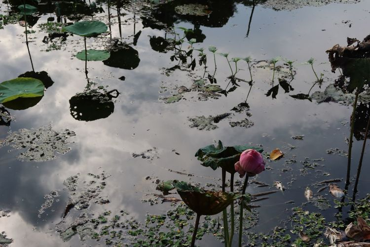 High angle view of lotus water lily in lake