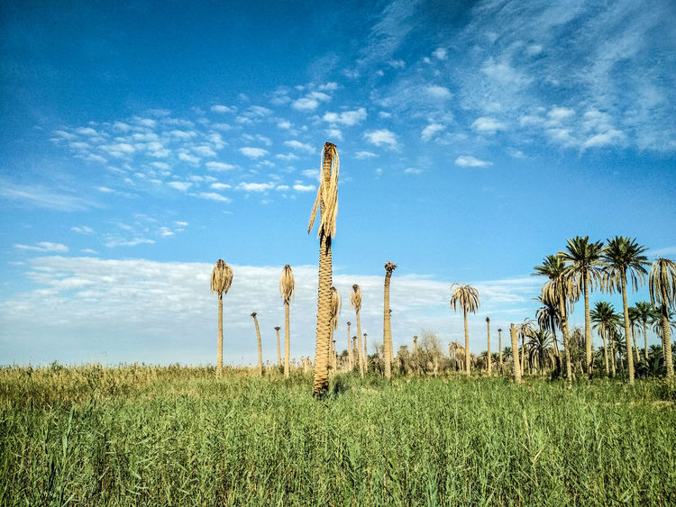 the other side of Iraq, beautiful and peaceful. Iraq Beautiful Travel Kufa Calm Nature Naturelovers Photography Photooftheday Getty Getty Images Landscape Explore Outdoors Peace Tree Sky Grass Landscape Plant Cloud - Sky