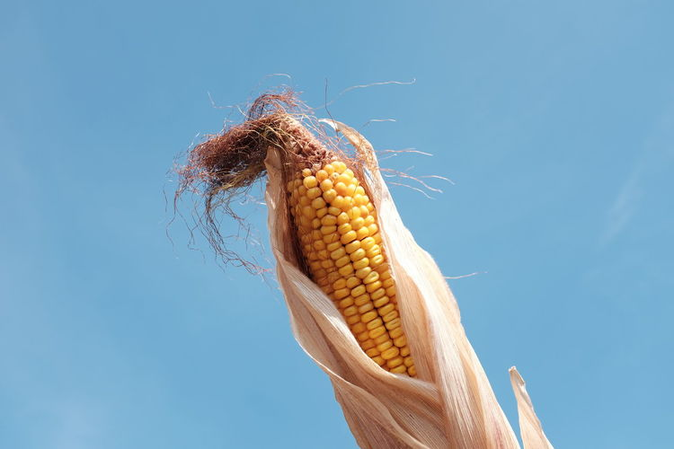 Low Angle View Of Corn Against Clear Blue Sky