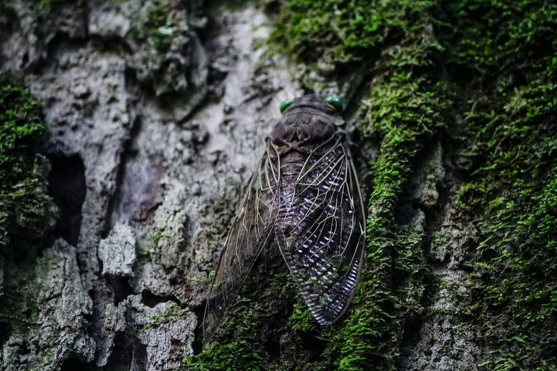 Cicada Animal
