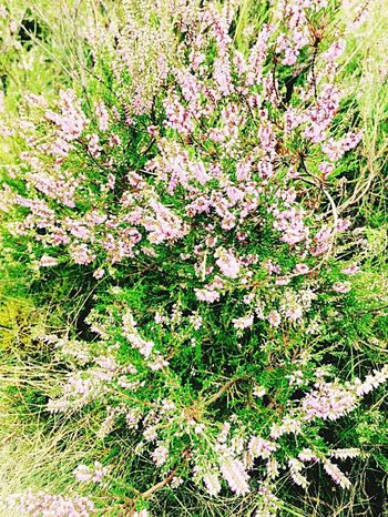 Flower Nature No People Beauty In Nature Heide Blütenzauber Summertime Outdoors Lüneburgerheide Flower Photography Growth Day High Angle View Field Plant Grass Pink Color Fragility Close-up Freshness Tree Branch