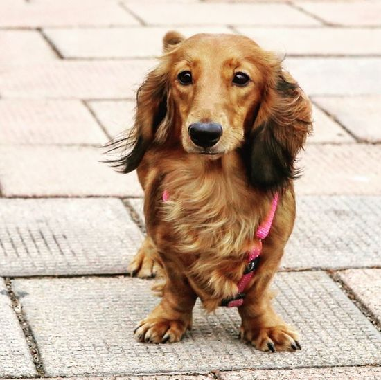 Long Haired Dachshund Dogslife I Love My Dog