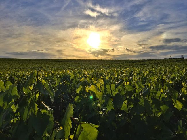 Champagne Agriculture Beauty In Nature Champagne Grapes Cloud - Sky Day Farm Field Freshness Green Color Growth Leaf Nature No People Outdoors Plant Rural Scene Scenics Sky Sunlight Tranquility Vivelafrance