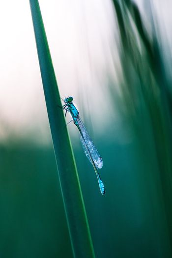 Close-up of a damselfly on stem of grass