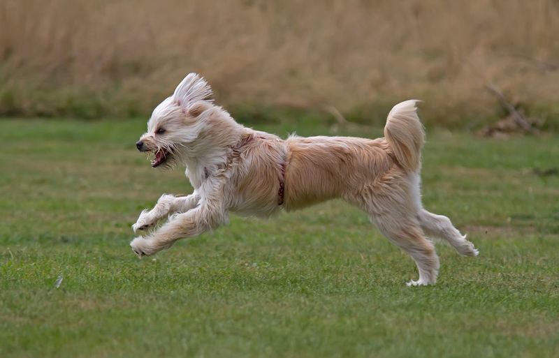 Full length of a dog running on field