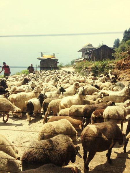 Beautiful Nature Sheeps. Goats Mountains Holiday Paradise Manali Scenic View
