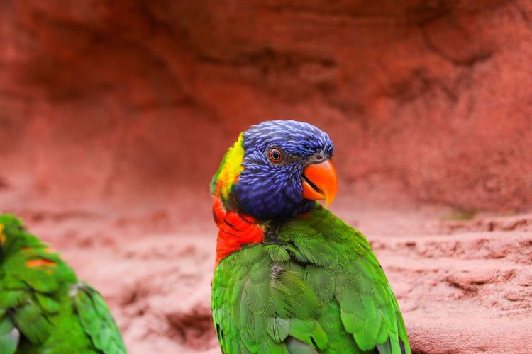 Nature Photography Nature Nature_collection Tropical Bird Rainbow Lori Animal Wildlife Animal Animal Themes Bird Animals In The Wild Vertebrate Parrot Multi Colored Rainbow Lorikeet Close-up Focus On Foreground Beauty In Nature Green Color