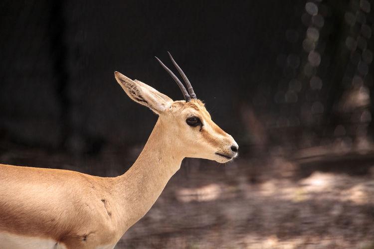 Slender-horned gazelle also called gazella leptoceros live in sandy deserts in northern africa.