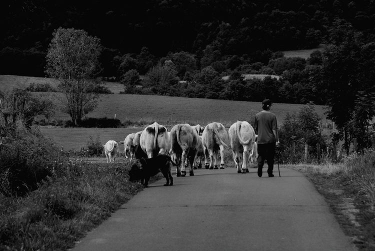 country life Black & White Peace And Quiet Following A Herd Country Roads For My Friends On Eyeem Happy Weekend !!! Mammal Domestic Animals Group Of Animals Livestock Domestic Plant Pets