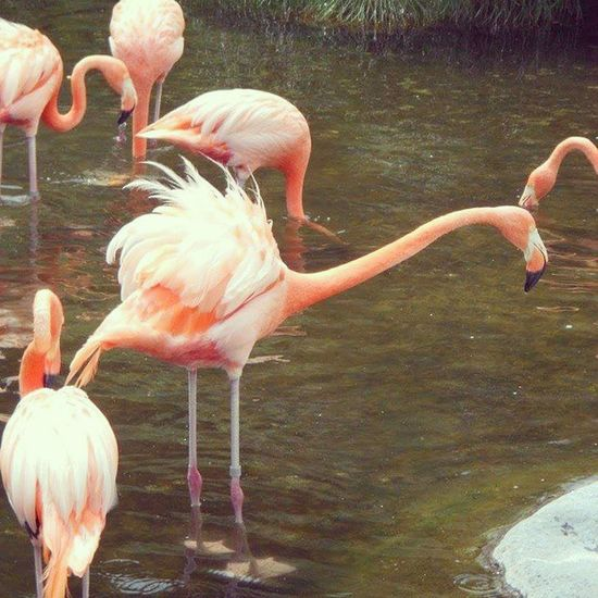 Temaiken Flamenco Flamingo