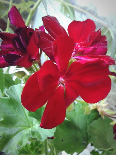 Pelargony Dark Red Leaves Plant Fragility Leaf Blossom Flower