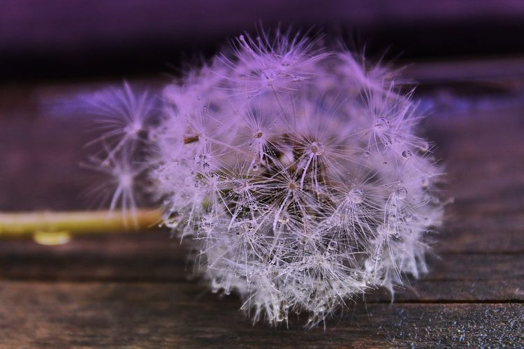 Beauty In Nature Close-up Dandelion Dandelion Seed Flower Flower Head Flowering Plant Focus On Foreground Fragility Freshness Growth Inflorescence Nature No People Outdoors Plant Purple Selective Focus Softness Vulnerability