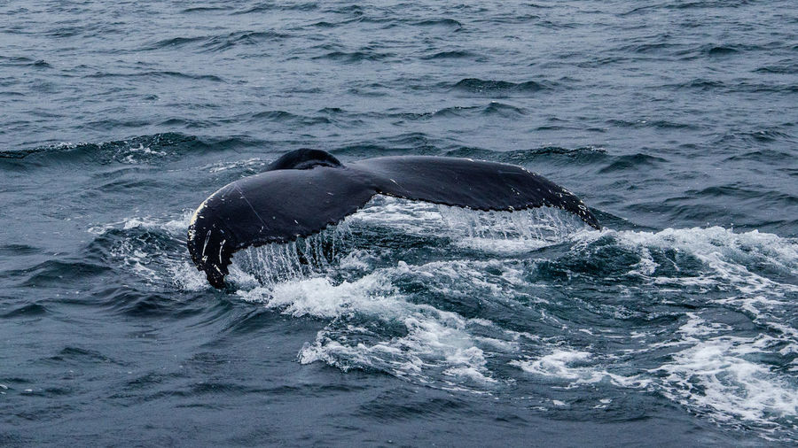 Humpback whale tail .