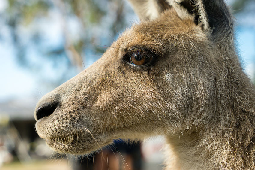 A kangaroo in profile in Australia Animal Animal Head  Animal Nose Animal Themes Australia Close-up Day Focus On Foreground Herbivorous Kangaroo Livestock Looking Away Marsupial No People One Animal Side View Snout Zoology