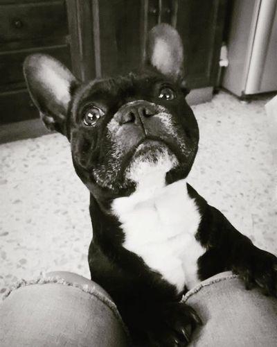 BebitO😘 Dogsofinstagram Lovemybully Bulldog Bulldogs French Mylove Frenchbulldog Mydog Dogstagram Dogsofig Black Blackandwhite Baby Babyboy Loveofmylife Mybaby