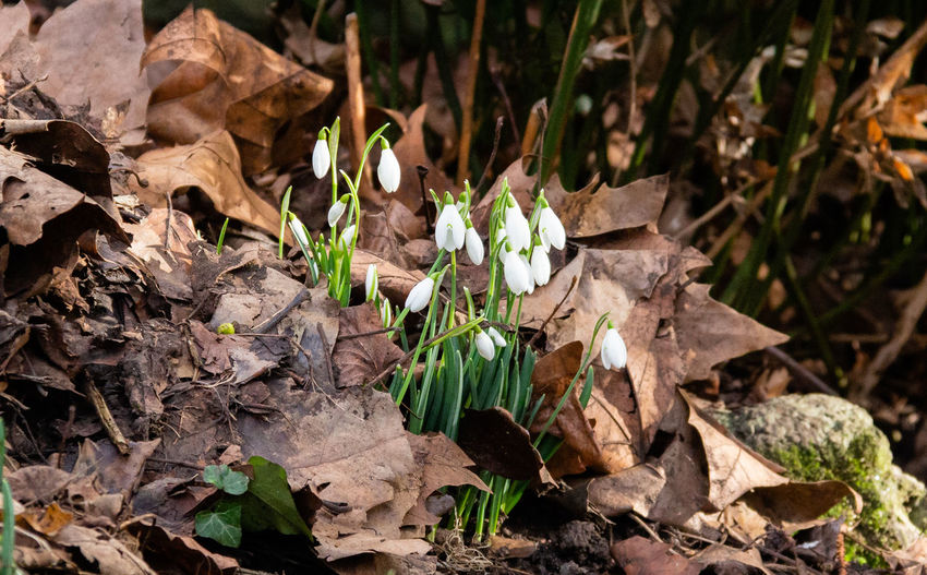 Plant Nature Beauty In Nature Flower Day Outdoors Close-up Petal Snowdrop
