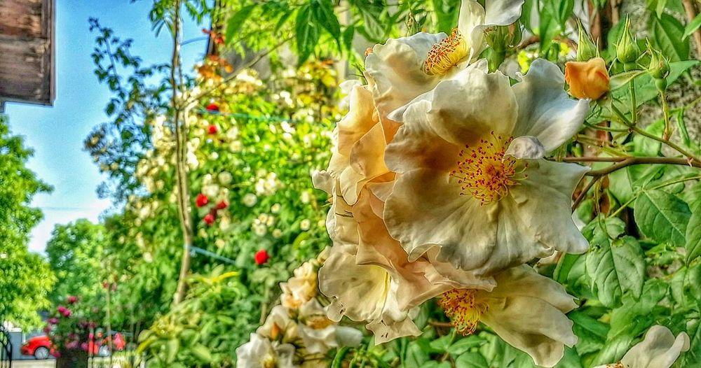 Rose🌹 Croatia Rose Tree White Flower Bobbie James Nice Smell Parfume Flower Close-up Plant Sky In Bloom Pollen
