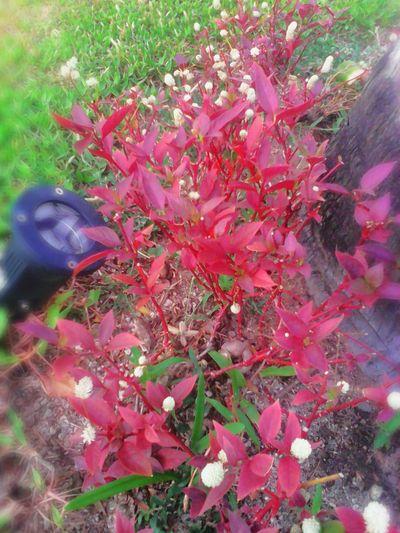 Lombok Island Senggigi Batubolong Flowers