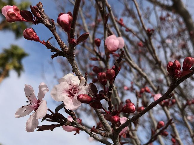 Close up of plum blossoms and buds EyeEm Selects Flower Branch Tree Growth Blossom Fragility Beauty In Nature Twig Botany Nature Petal Plum Blossom Day No People Close-up Flower Head Outdoors Low Angle View Freshness Springtime