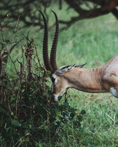 An antelope grazing at taita hills wildlife sanctuary, voi, kenya