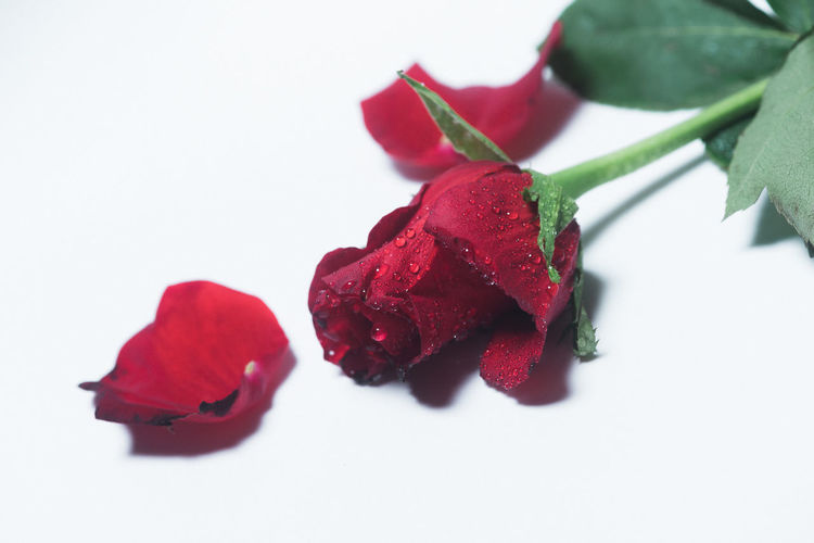 Red Rose Red Studio Water Droplets Flower Red Rose Rose - Flower Rose🌹 Studio Shot Water White Background