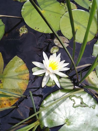 Flower Water Lily Pond Close-up Beauty In Nature Plant Lily Pad Onthelake Southern Landscapes Tranquility