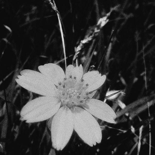 Black&white Sunflower EyeEmNewHere