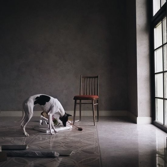 Dog Sniffing The Floor In A Room