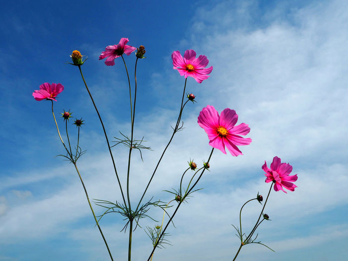 Low Angle View Of Pink Cosmos Flowers Blooming Against Sky
