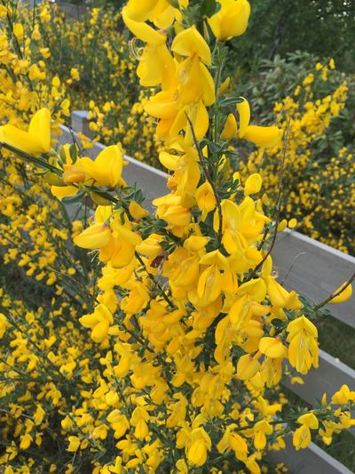 Ginst Flower Of Halland Spring 2016 Frösakull Yellow Flower Sweden Paint The Town Yellow