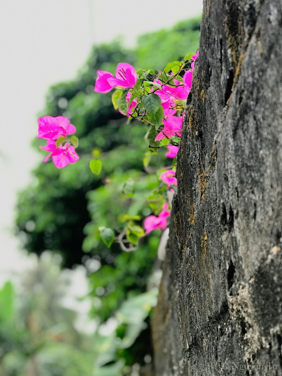 plant, pink color, flowering plant, flower, growth, tree trunk, trunk, close-up, beauty in nature, freshness, selective focus, vulnerability, nature, fragility, day, no people, tree, outdoors, focus on foreground, petal, flower head, bark, lichen