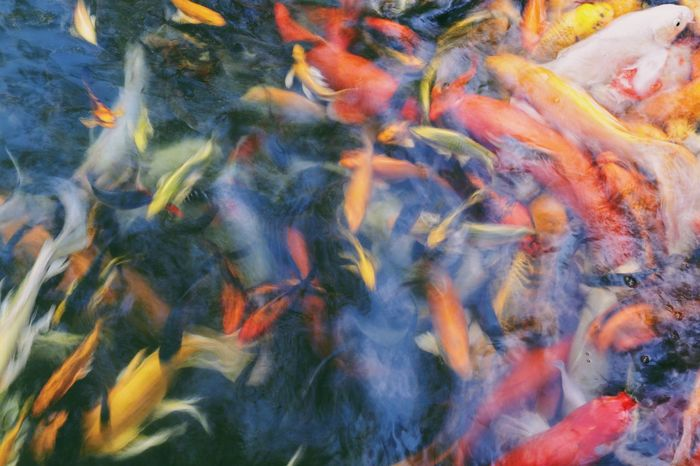 Aquatic Fancy Carp Swimming Animal Themes Animals In The Wild Aquarium Life Beauty In Nature Carp Carp Fish Close-up Colorful Day Fish High Angle View Koi Carp Large Group Of Animals Long Exposure Motion Movement Nature No People Outdoors Sea Life Swimming Water