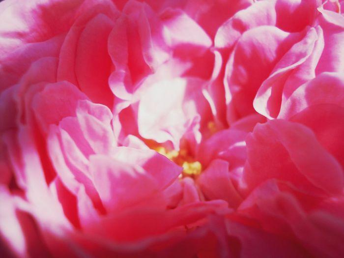 Macro Photography Macro Nature Macro Flower Macrophotography макро макро фото Macro цветы цветочкиуменявсадочке цветы🌸🌼🌻💐🌾🌿 макросъемка Flovers🌷🌺🌼 Flovers Flowers пион всего лишь пионы нежный розовый