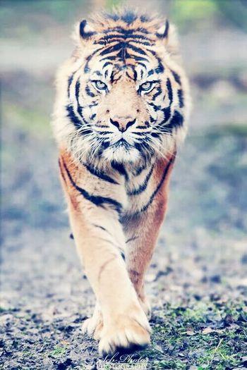 Love Animals Tigger♥
