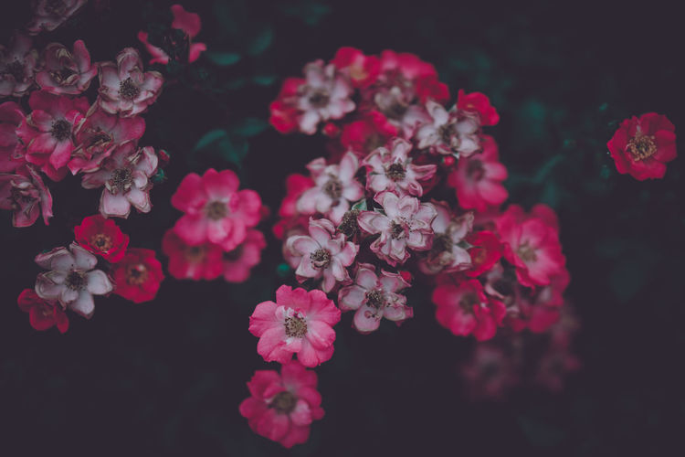 Beauty In Nature Botany Bunch Of Flowers Cherry Blossom Close-up Day Flower Flower Head Flowering Plant Fragility Freshness Growth Inflorescence Lilac Nature No People Outdoors Petal Pink Color Plant Pollen Selective Focus Springtime Vulnerability