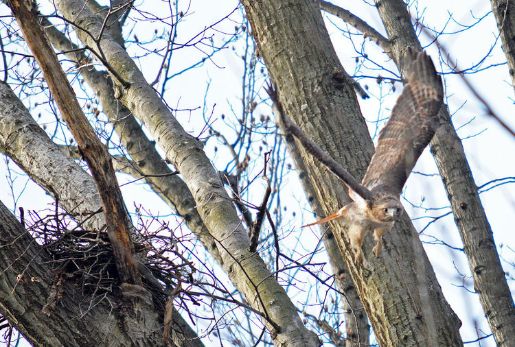 Red tail hawk taking flight from nest Birds Nest Red Tailed Hawk Gliding Thro Red Tailed Hawk Gliding Through The Air Bare Tree Beauty In Nature Flight Flying Through Woods Hawk Taking Flight Nature Raptorial Bird Sky Tree Tree Trunk Wings