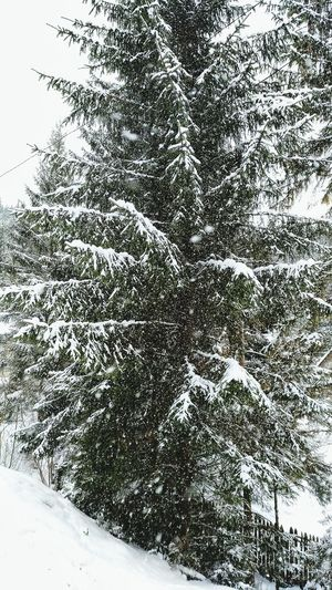 Falling snow....No People Snow Tree Nature Cold Temperature Winter Sky Day Beauty In Nature Outdoors Close-up Winter Wonderland Wandering Around Winter Falling Snowwwwwww ❄❄❄❄❄❄❄❄❄❄❄❄❄ Falling Snowflakes Falling Snow Dramatic Sky