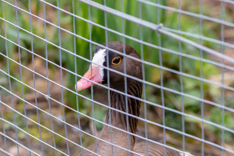 Nosy Nosy Duck