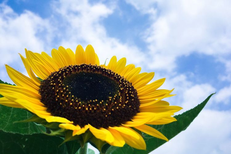 Flower Petal Fragility Freshness Sunflower Flower Head Beauty In Nature Yellow Nature Pollen Sky Growth Plant Blooming Cloud - Sky Day No People Close-up Outdoors Black-eyed Susan Sunflower