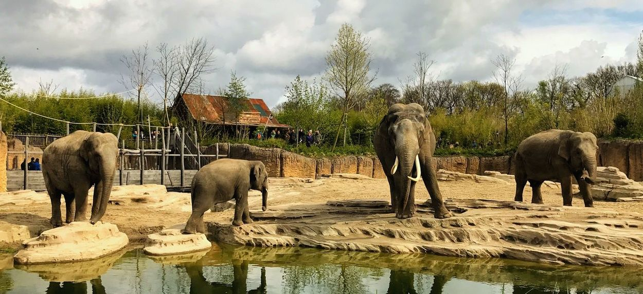Olifanten in Nederland Elephant Wildlands  Olifant Zoo Dierentuin